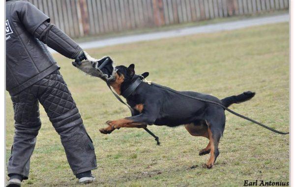 Schutzhund Trials
